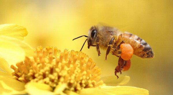 Пчела беспозвоночное животное