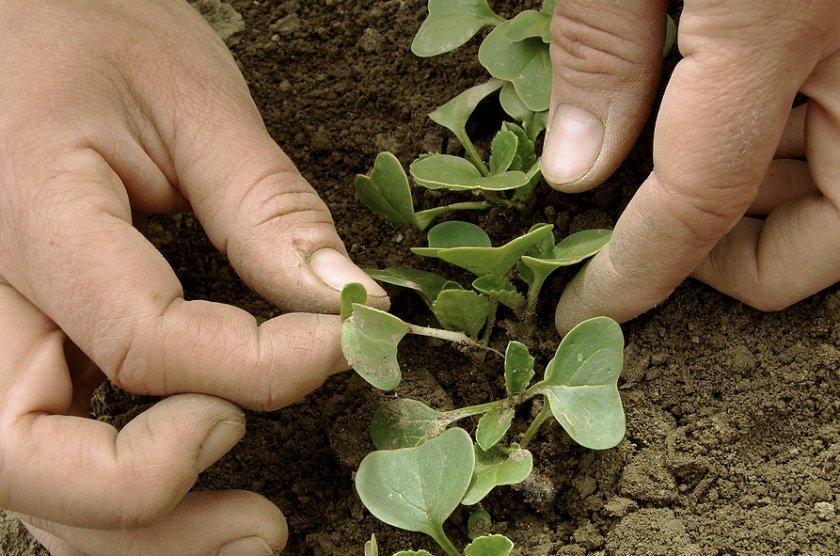 Прореживание ростков редиса