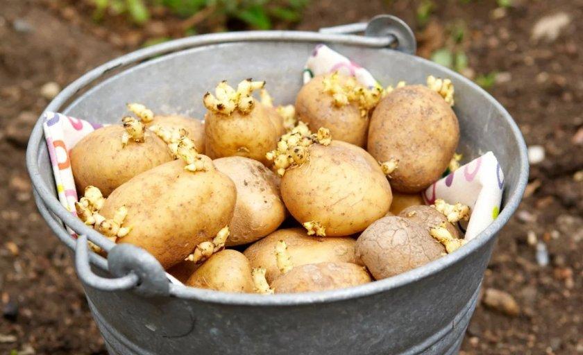 Проращевание картофеля перед посадкой