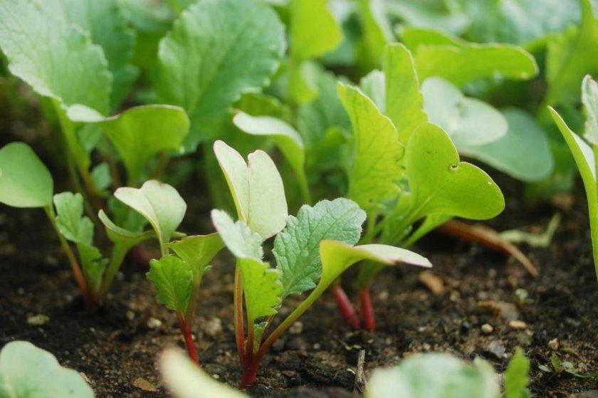 Выращивание арбузного редиса