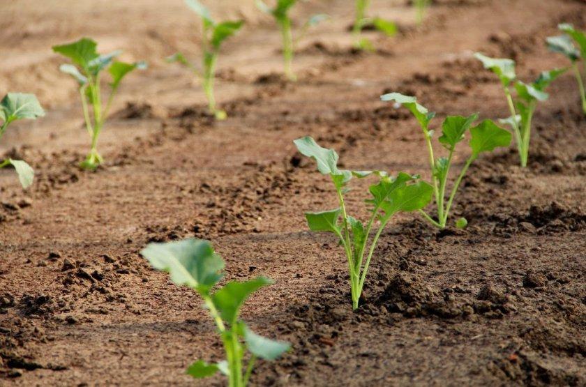 Рассадный метод высаживания капусты