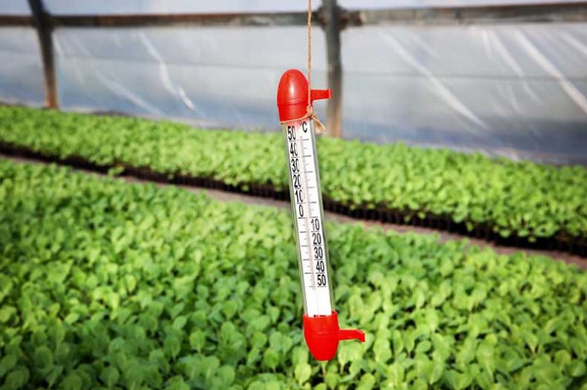 Температурный режим для рассады капусты