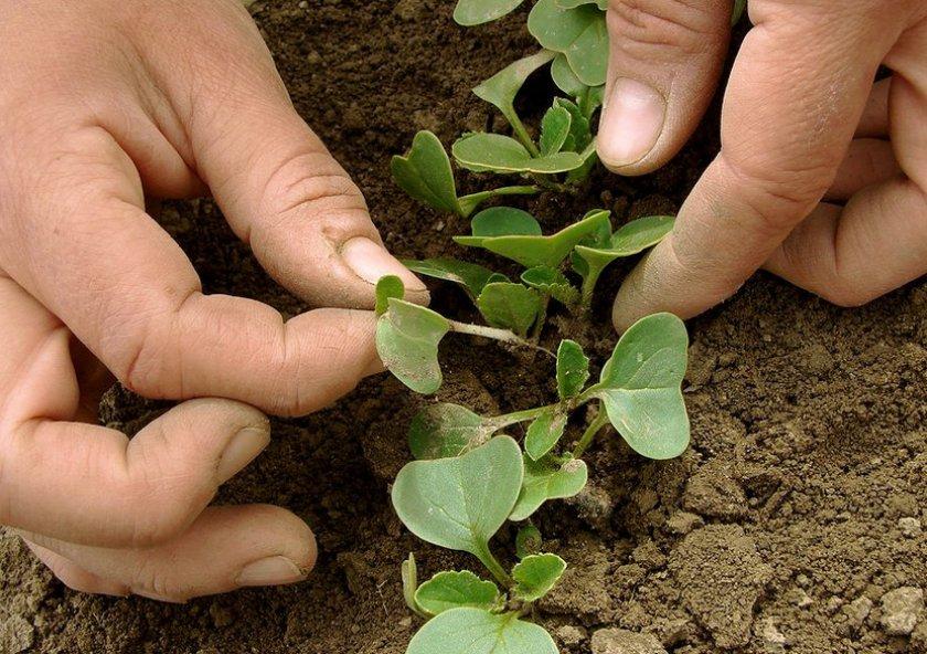 Прореживание молодой рассады капусты