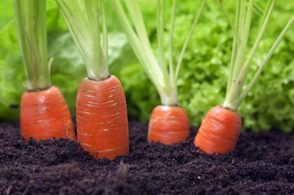 Посадка моркови с помощью туалетной бумаги