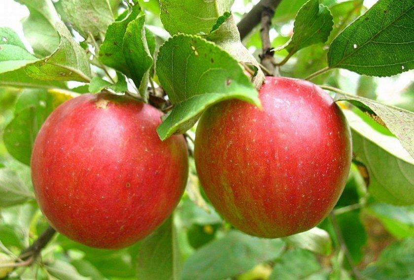 Яблоки Коваленковское