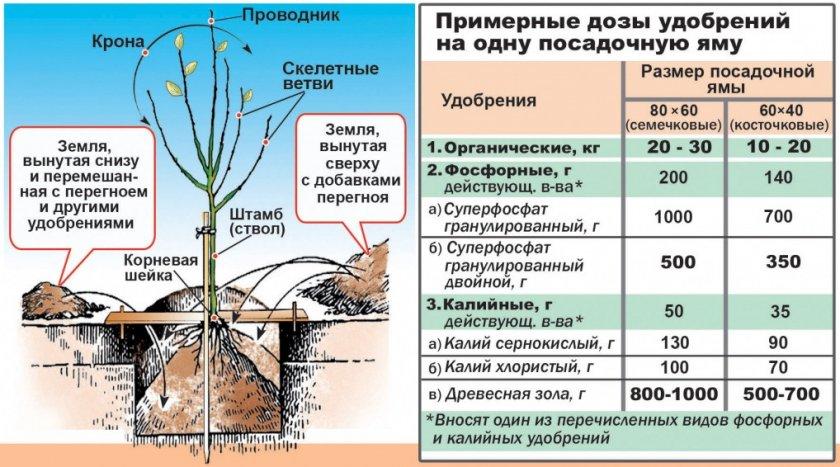 Схема посадки и подкормки саженца