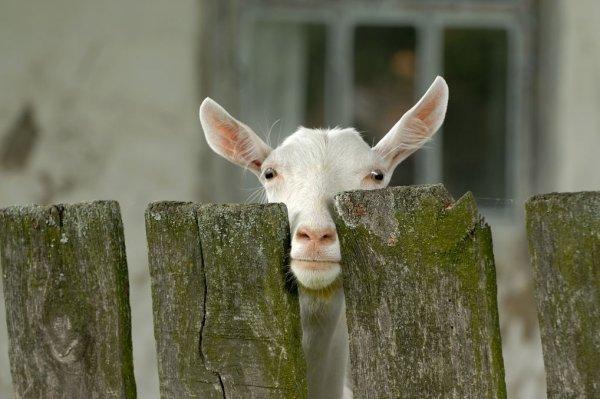 Как распознать охоту у козы