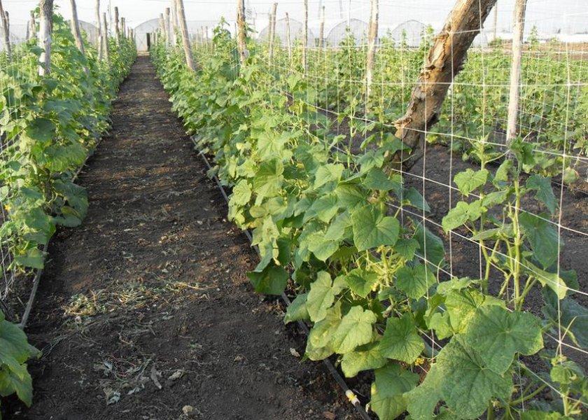 Выращивание огурцов на сетке