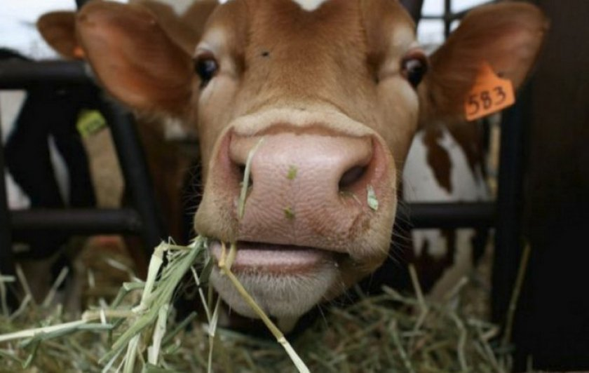 Кетоз у коров