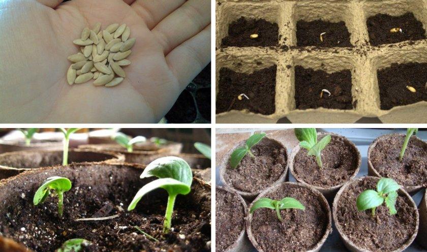 Этапы посева семян огурцов на рассаду