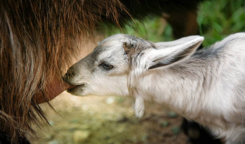 Кормление коз