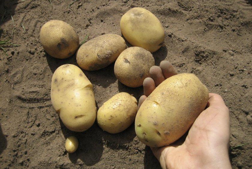 Картофель Велина