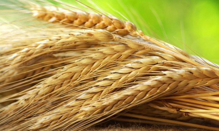 Фузариоз зерна может сделать его опасным при употреблении в пищу