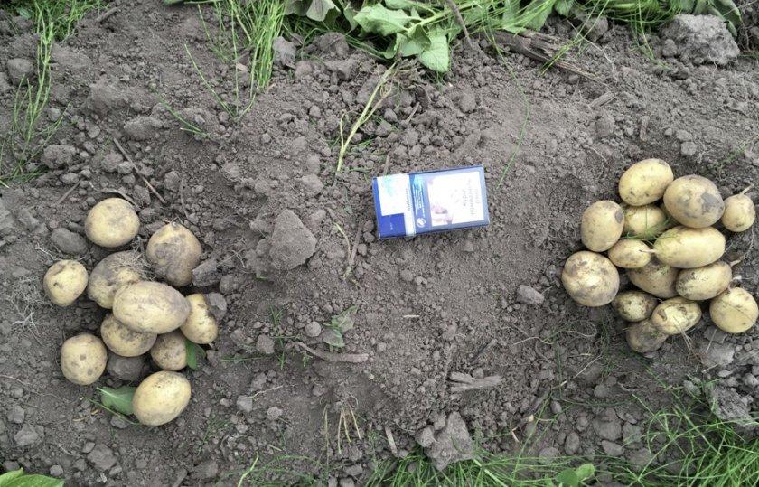 Урожай картофеля Банба