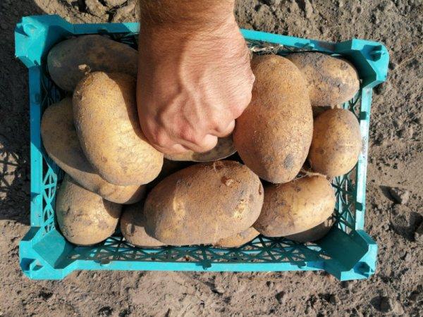 Картошка сорта банан