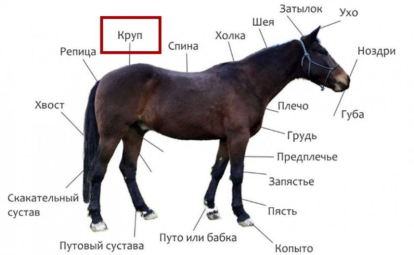 Органы лошади