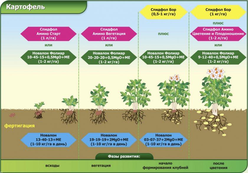 Подкормка картофеля микроудобрениями по этапам роста