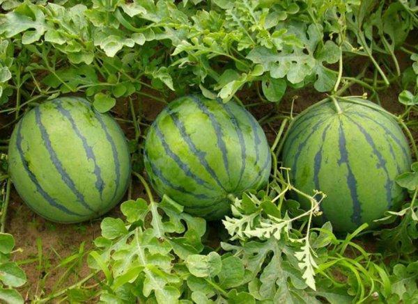 Синий арбуз: польза и вред, как вырастить, что можно ...