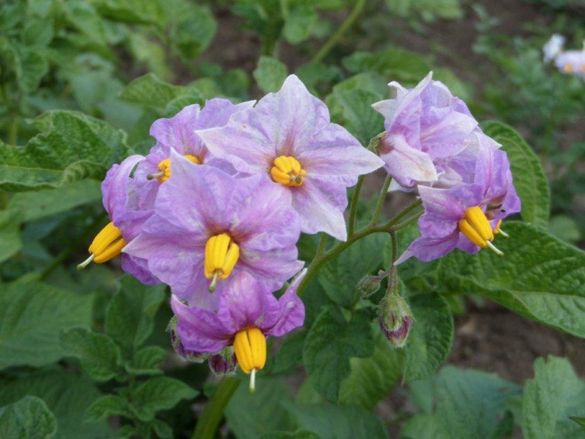 Цветение картофеля Хозяюшка