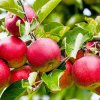 Яблоня синап: описание и сорта, преимущества и недостатки, особенности выращивания и правила ухода