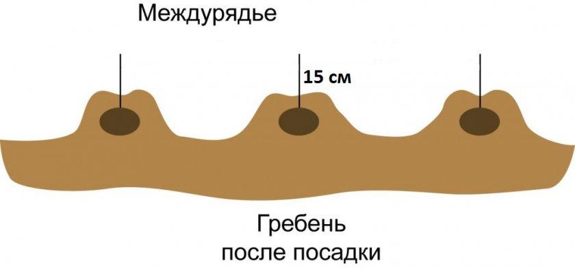 Схема гребневой посадки картофеля