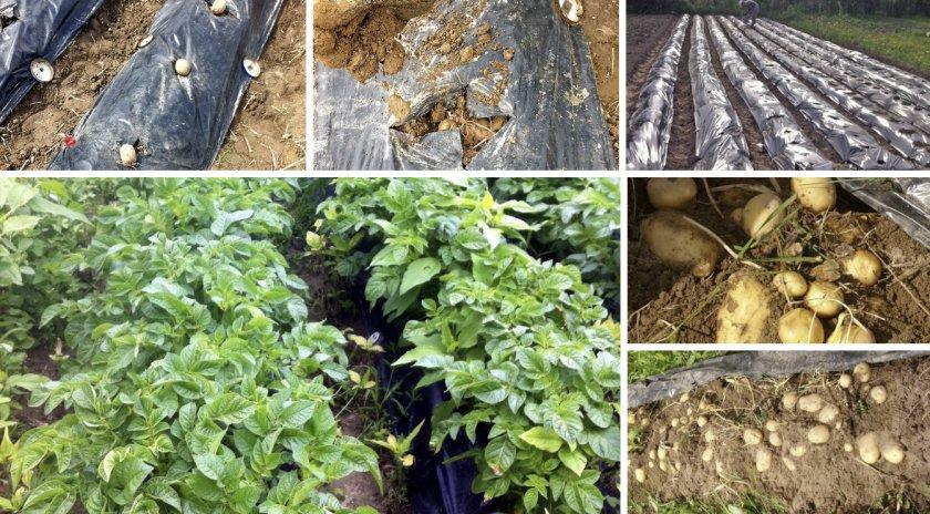 Выращивание картофеля под чёрной плёнкой