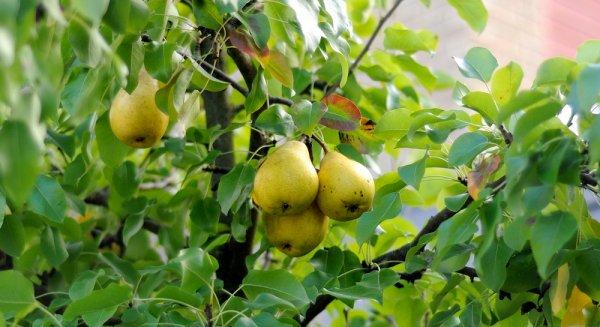 груша выращивание и уход