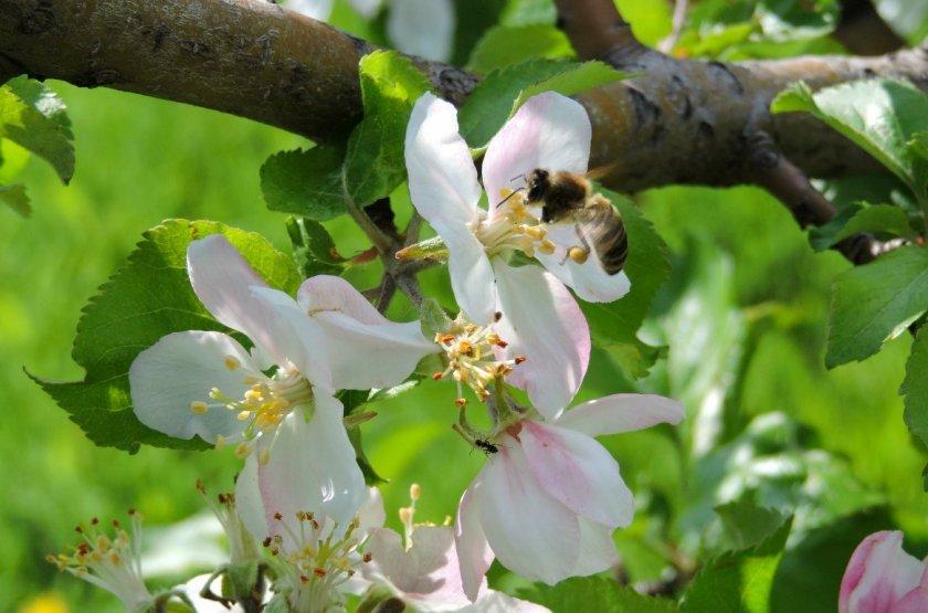Цветение яблони Банановое
