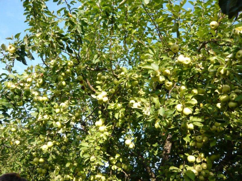 Урожайность яблони Банановое