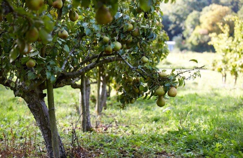 Место для выращивания груш