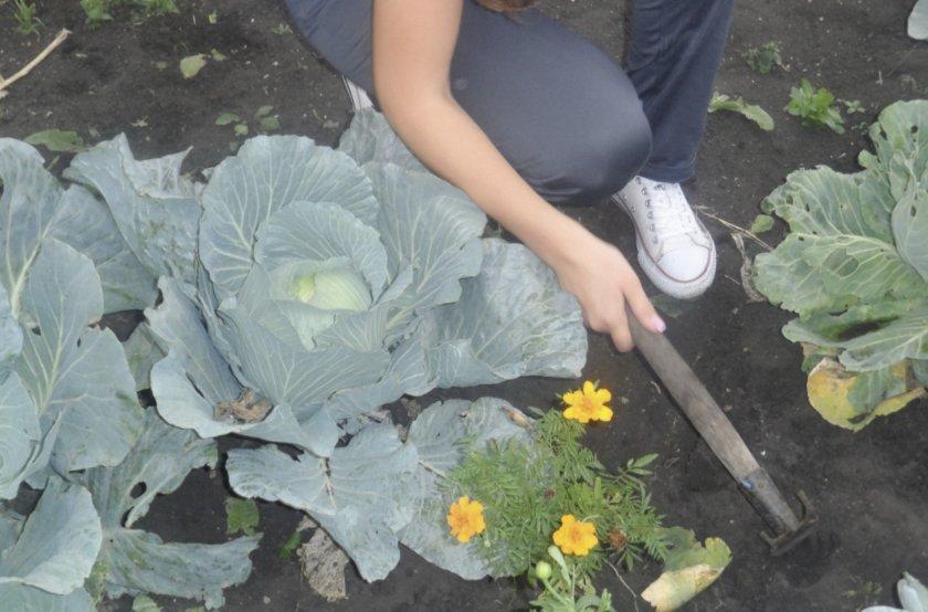 Рыхление междурядий капусты