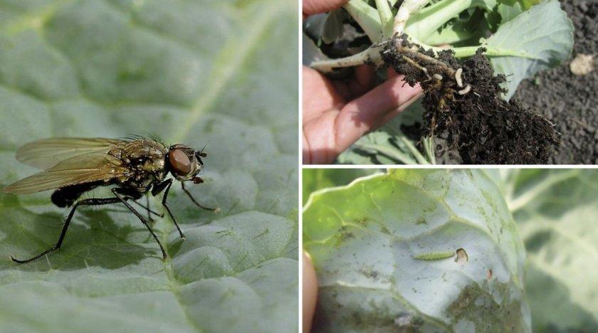 Капустная муха и её личинки