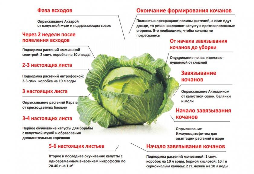 Поэтапный уход и подкормка капусты