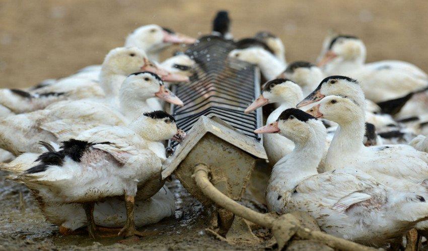 Утки выщипывают перья