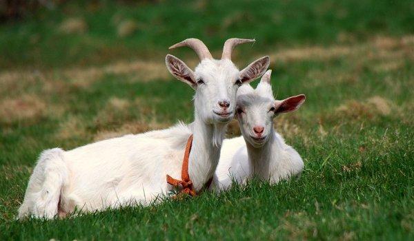 Окот козы: определение стельности, уход и кормление перед окотом