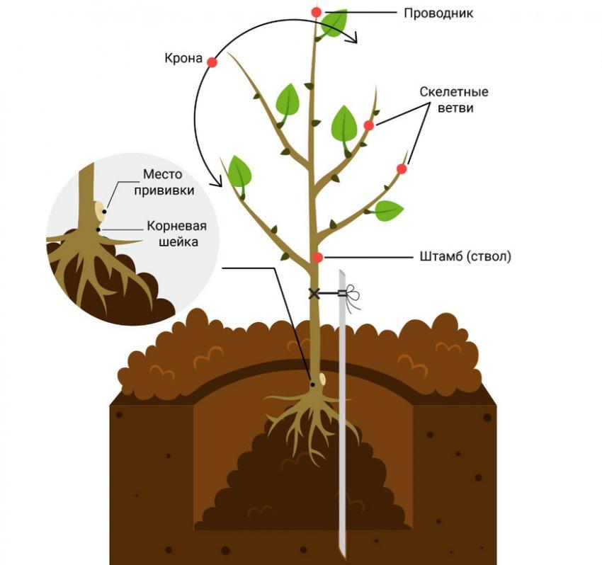 Схема посадки саженца плодового дерева