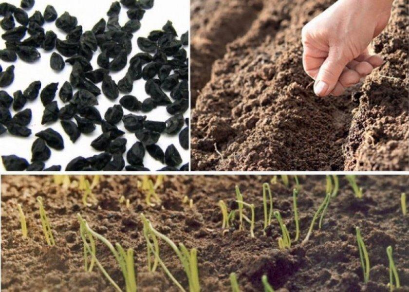 Посев лука