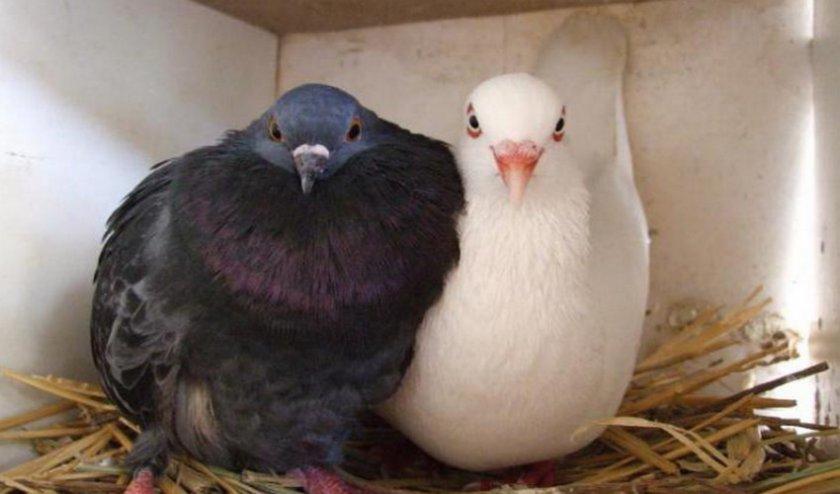 Как определить пол голубей