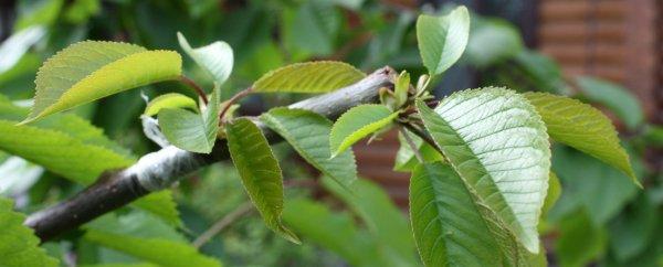 Окулировка вишни