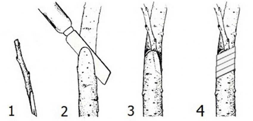 Прививка черенков черешни в боковой зарез