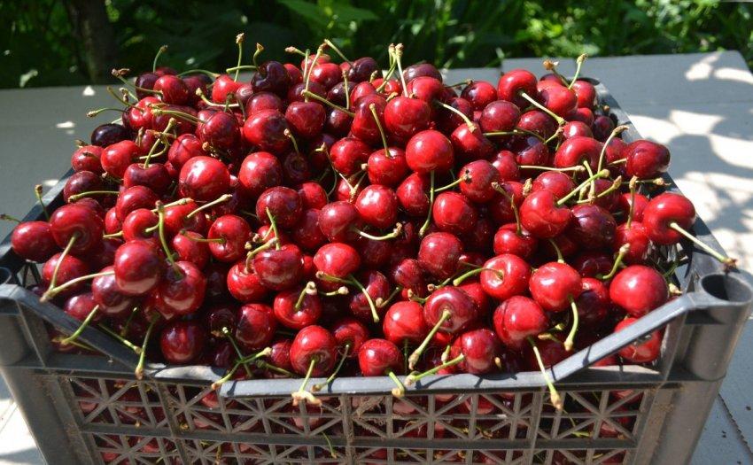 Урожай черешни сорта Ревна
