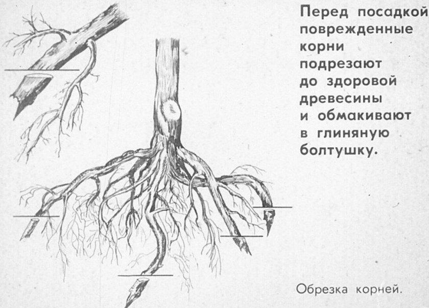 Обрезка поврежденных корней дерева