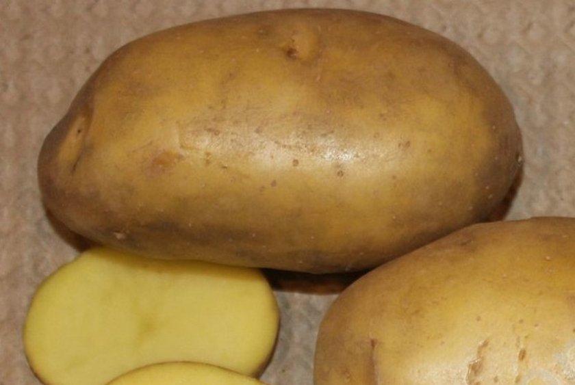 Картофель сорта Гулливер