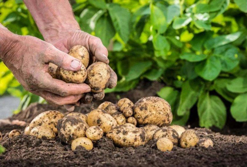 Созревшие молодые плоды картофеля Гулливер