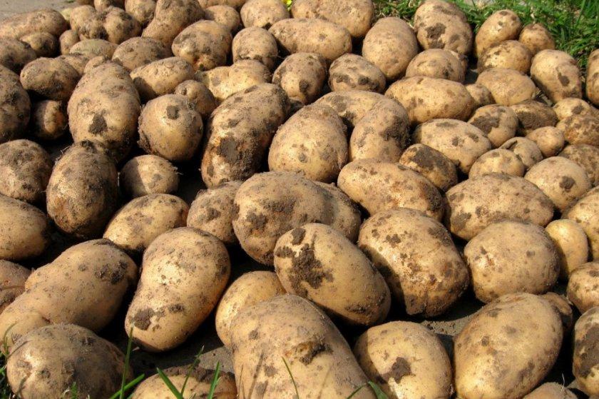 Урожайность картофеля Гулливера