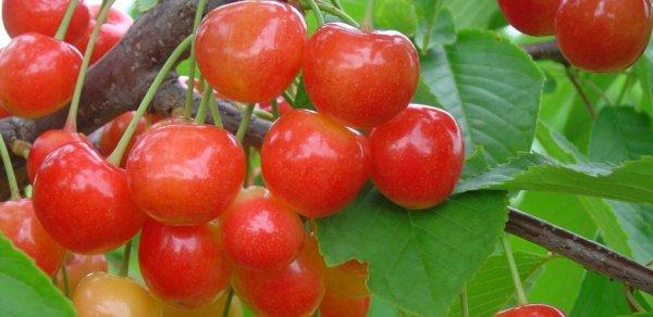 Опылители для черешни и вишни: лучшие сорта с фотографиями [2019]