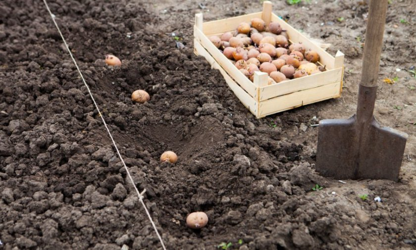 Процесс посадки картофеля