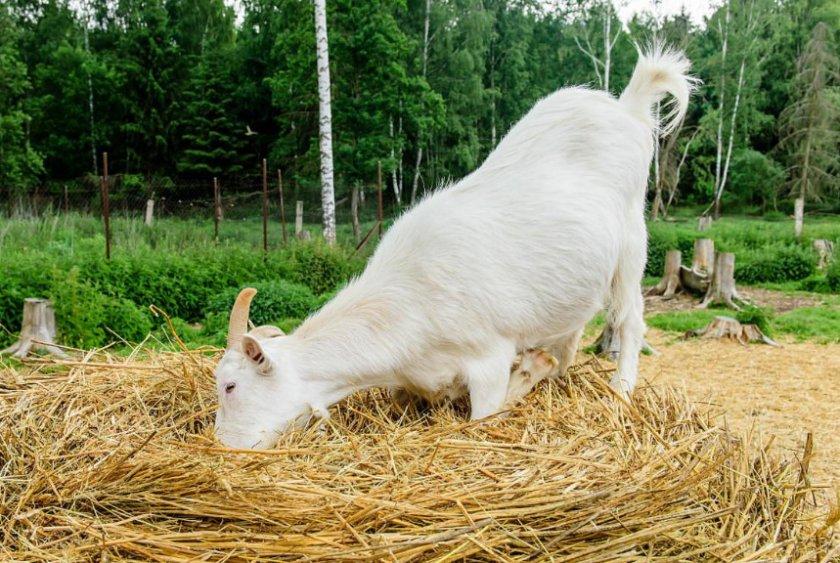 Коза кушает сено