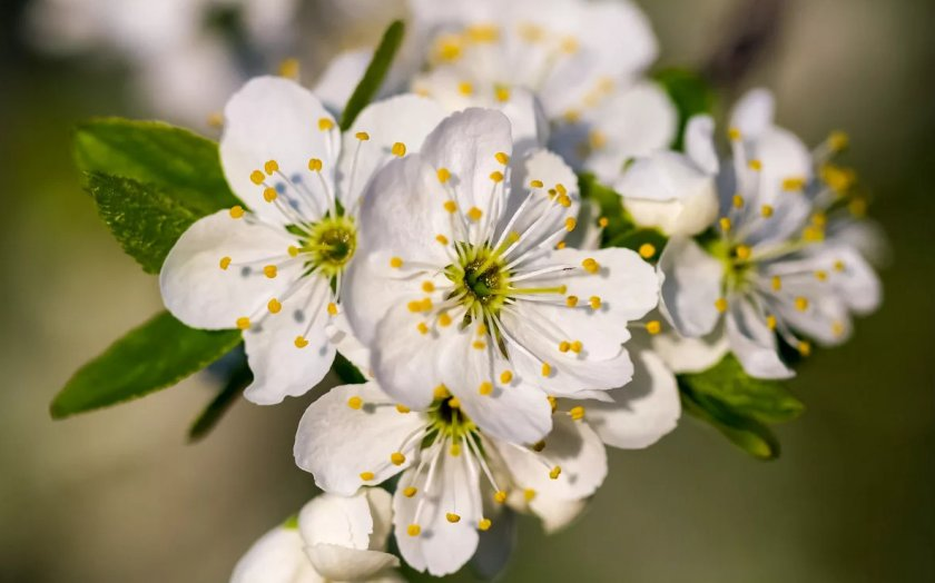 Цветение черешни Чермашная