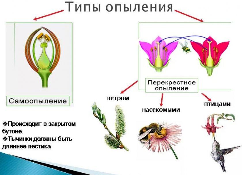 Схема опыления цветков